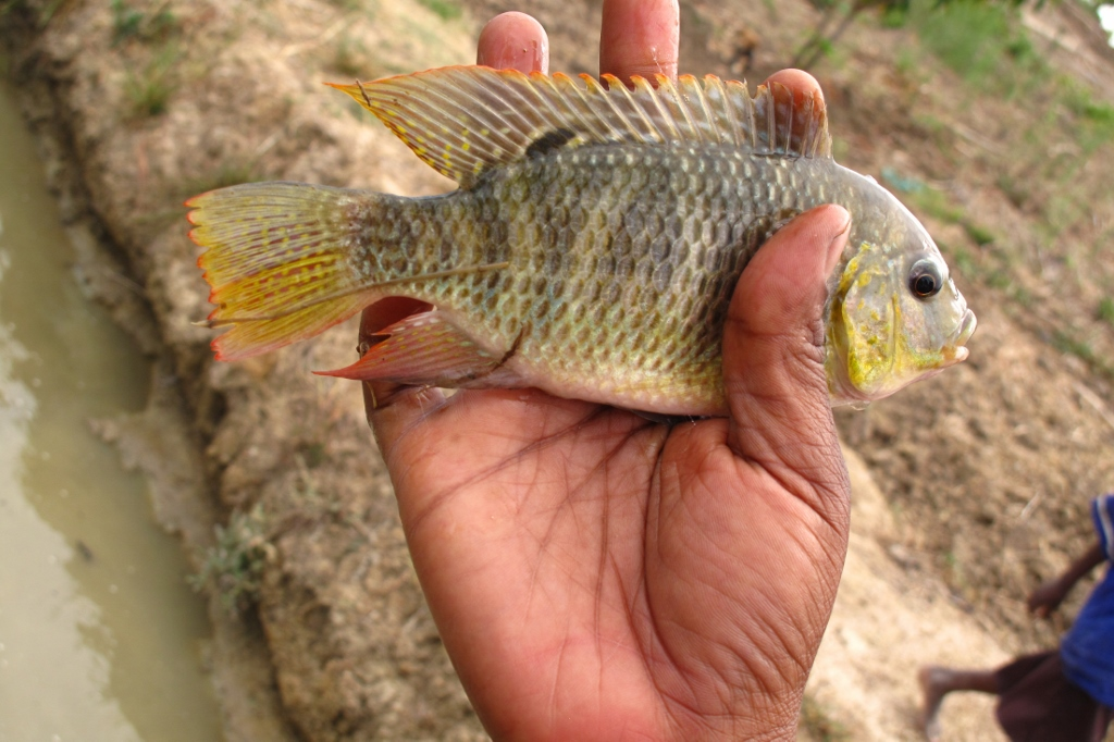 the best attitude e1784 69012 Tilapia fish are providing protein rich food and an income in Malawi